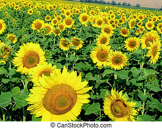 Vibrant sunflowers - Photo of ripening sunflowers growing on...