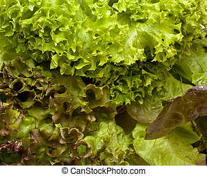 Three headed Lettuce - Vibrant Three headed Lettuce known as...