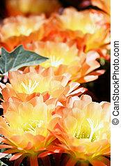 Vibrant Torch Cactus Flowering