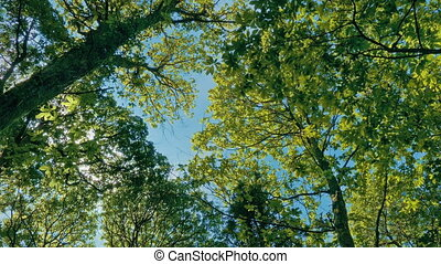 Vibrant Tree Canopy Above On Sunny Day - Forest canopy with...