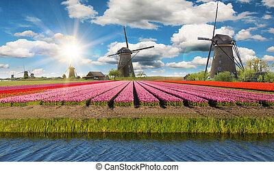 vibrant, tulipes, champ, à, hollandais, éoliennes