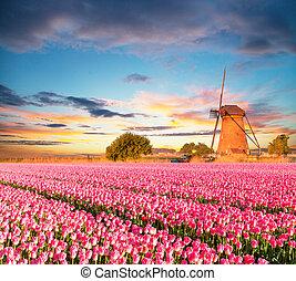 Vibrant tulips field with Dutch windmill