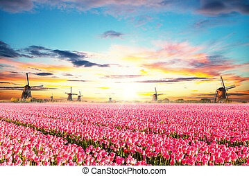 Vibrant tulips field with Dutch windmills, Netherlands....