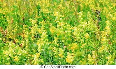 Vibrant yellow flowers Rhinanthus major on the meadow