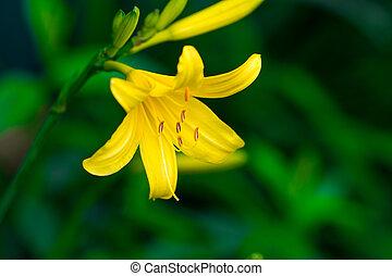 Vibrant yellow lilies in a summer garden