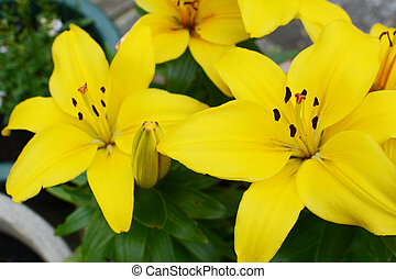 Vibrant yellow lily blooms in a summer garden
