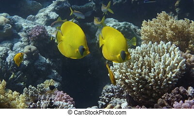 Vibrant yellow Masked Butterflyfish (Chaetodon semilarvatus) with coral reef background. Red Sea, Egypt.