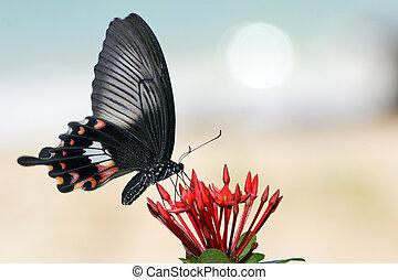 papilio helenus species gathering nectar on red flowers, ko bulon island coastline, Thailand