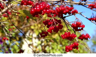 viburnum, a branch of a viburnum on a sunny day