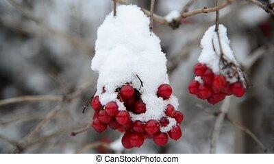 viburnum berries covered in snow at wintertime. - viburnum...