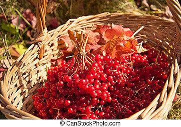 Viburnum berries in the basket