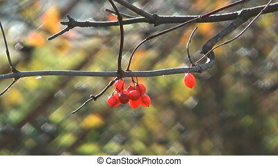 Viburnum. - Berries of a red guelder-rose on a branch.