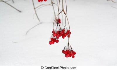Viburnum berries on branch on the snow background - Viburnum...