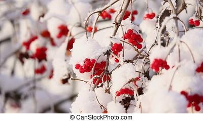 Viburnum berries on branches in winter - Viburnum berries on...