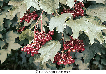 Viburnum berries on the branches of a Bush.
