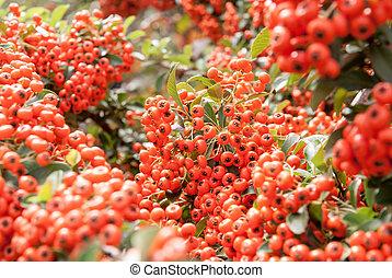 Viburnum berries ripen on the bush, shallow depth of field