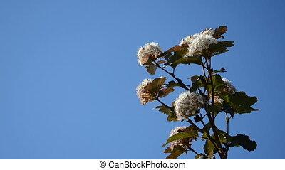 viburnum blooms sky blue