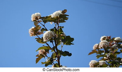 viburnum blooms sky blue - White blooming viburnum snowball...