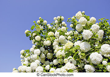viburnum, bola de nieve, flores