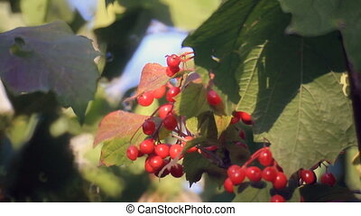 Viburnum branch with red berries from sunlight on shadow