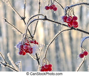 Viburnum branch with red berries hoarfrost covered close up