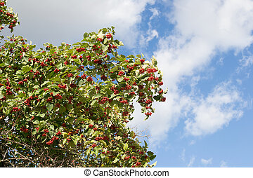 Viburnum branch with red ripe berries on windy day
