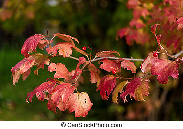Viburnum bush with red berries and red autumn leaves