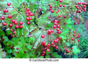 Viburnum bush with ripe red berries - Viburnum bush with lot...