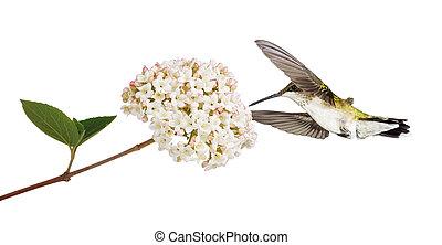 viburnum, colibrí