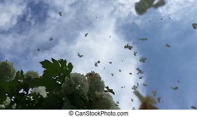 Viburnum flowers fall in slow motion
