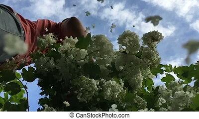 Viburnum flowers fall in slow motion