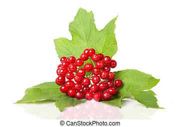 viburnum, hojas, aislado, blanco, bayas, rojo