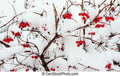 Viburnum in the snow 1