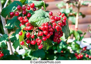 Viburnum is a genus of woody flowering plants in the family Adoxaceae