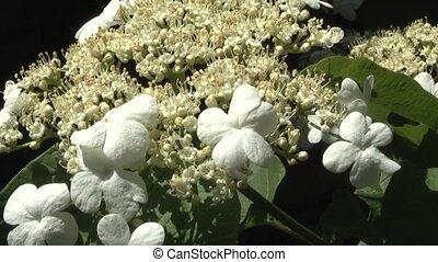 viburnum - Laurustinus (Viburnum macrocephalum ).Summer...