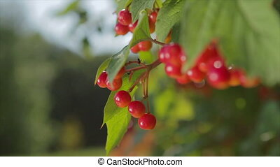Viburnum on a tree. Red berries hanging on a tree. Wild...
