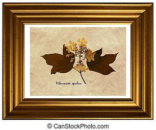 Viburnum opulus in herbarium - Herbarium from pressed and ...