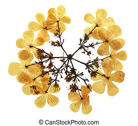 Viburnum opulus in herbarium - Pressed and dried flowers of ...