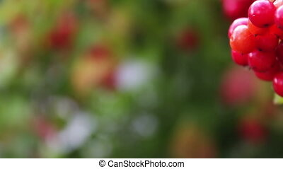 Viburnum opulus ripe red berries closeup - Beautiful ripe...