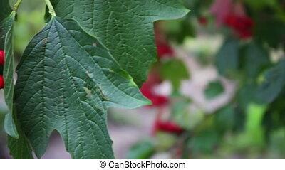 Viburnum opulus ripe red berries closeup