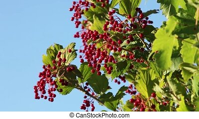 Viburnum ripe red berries