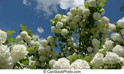 viburnum white blossoms and wind
