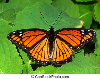 Viceroy Butterfly in Illinois