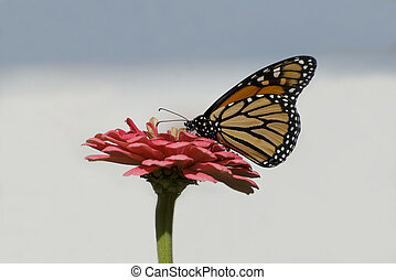 Closeup photo of a Viceroy butterfly perched on and pollinating a zinnia flower in full bloom