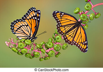 Viceroys on poke weed - Two viceroy butterflies are perched...