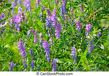 Vicia cracca flowers, close up view