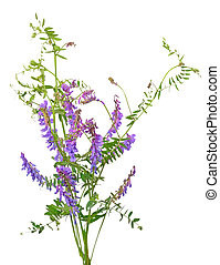 vicia, flores, cracca