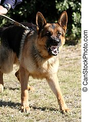 A vicious police dog baring it's teeth and barking