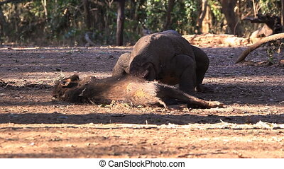 The victim of Komodo Dragon. Rinca island, Indonesia.