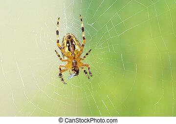 victime, manger, mouche, araignés, peu, sien, toile